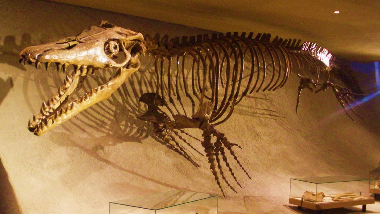 Mosasaurus hoffmannii   skeleton