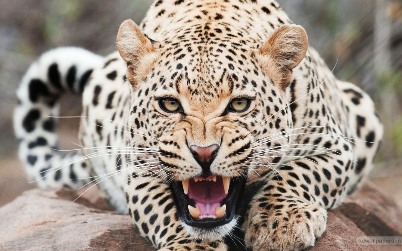 8589130572254 cheetah animal wallpaper hd