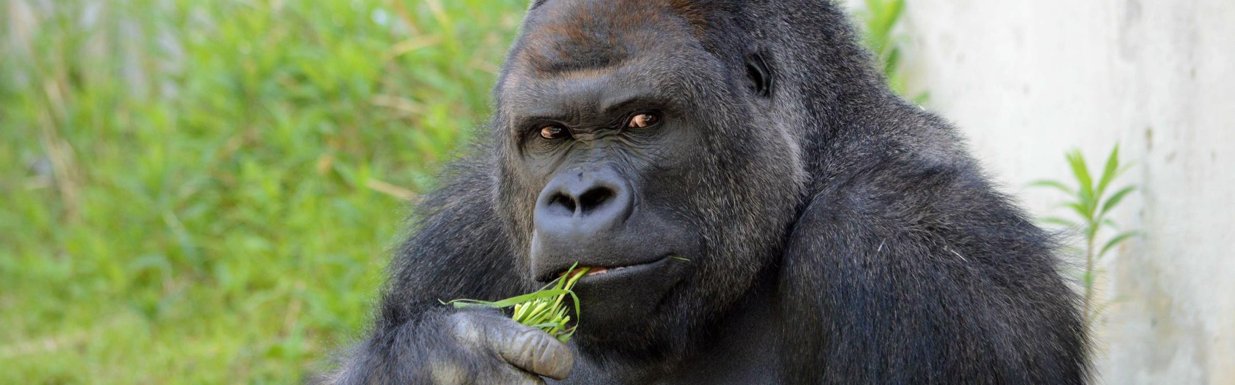 Gorillalaa.jpg header